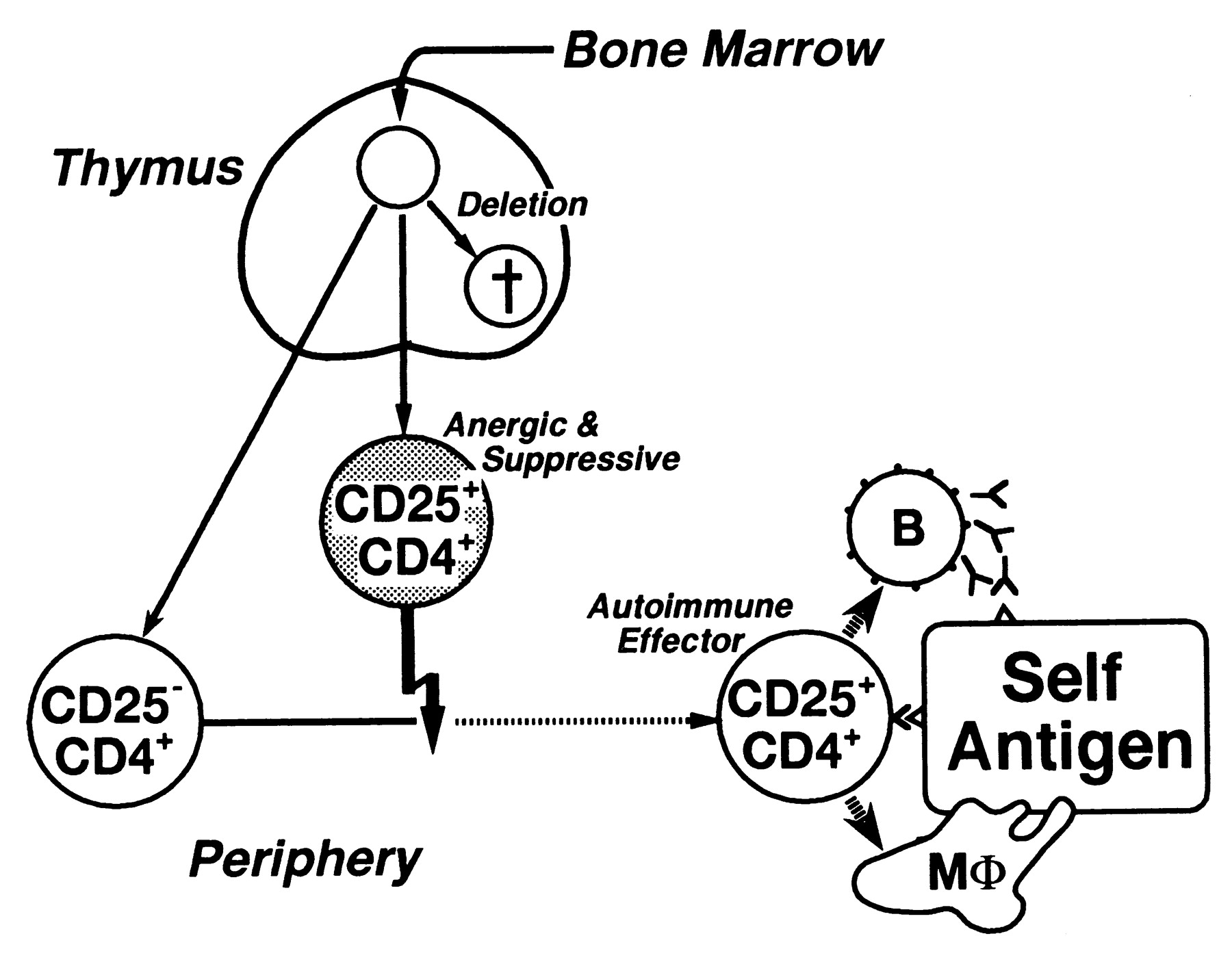 Thymus And Autoimmunity Production Of Cd25cd4 Naturally Anergic