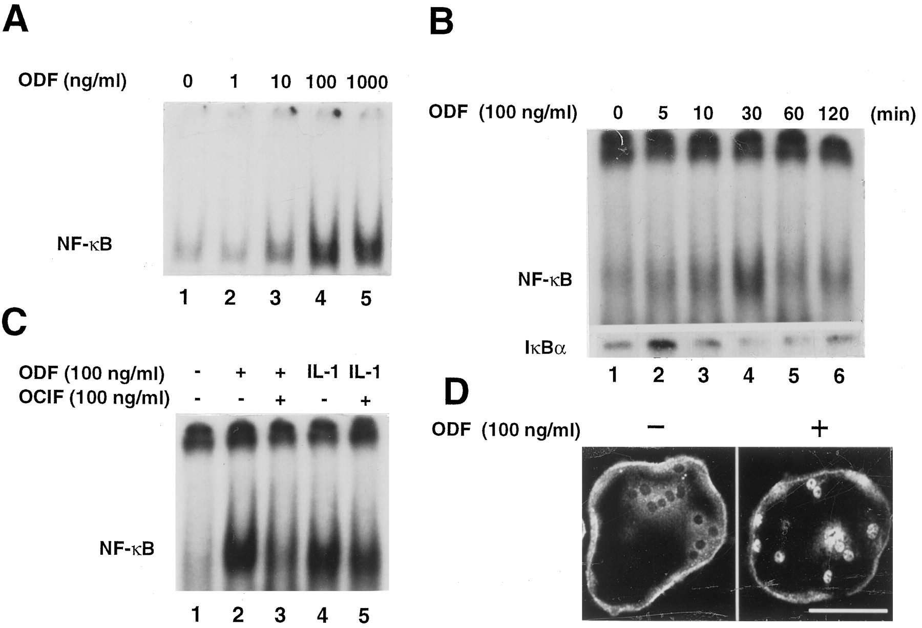 Osteoclast Differentiation Factor Acts As A Multifunctional Pure Apnea Level 1 Course Download Figure