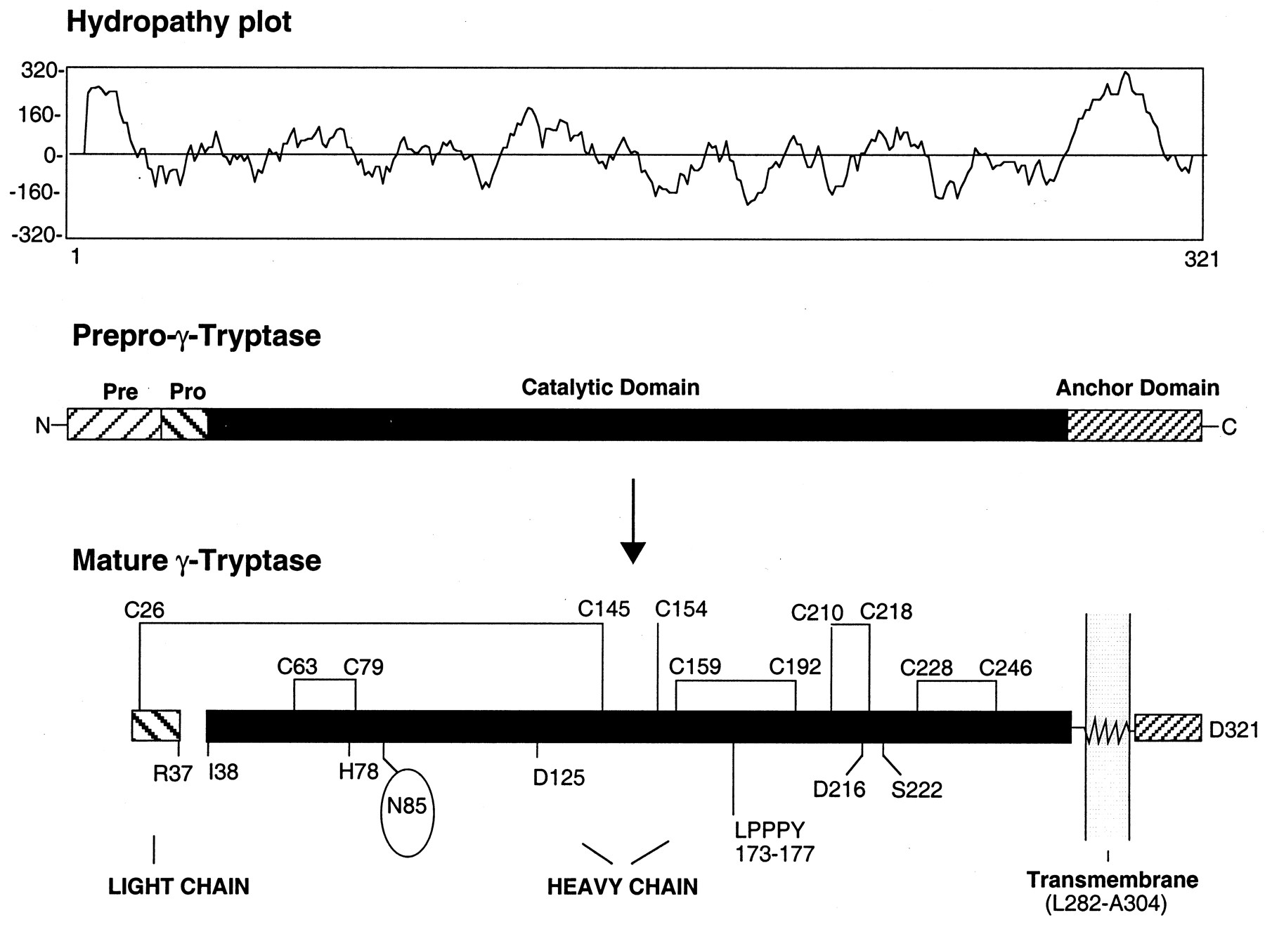 Characterization of Human γ-Tryptases, Novel Members of the ...