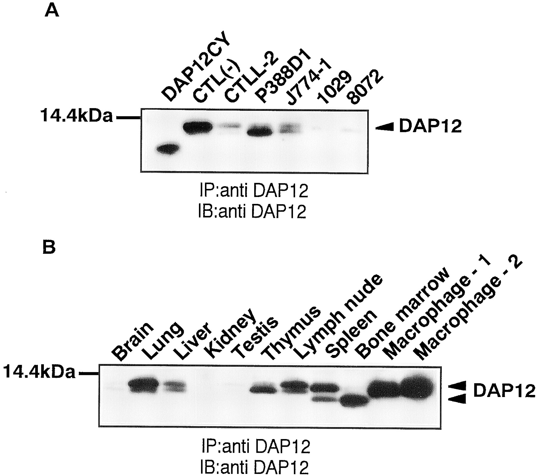 the role of the dap12 signal in mouse myeloid differentiation
