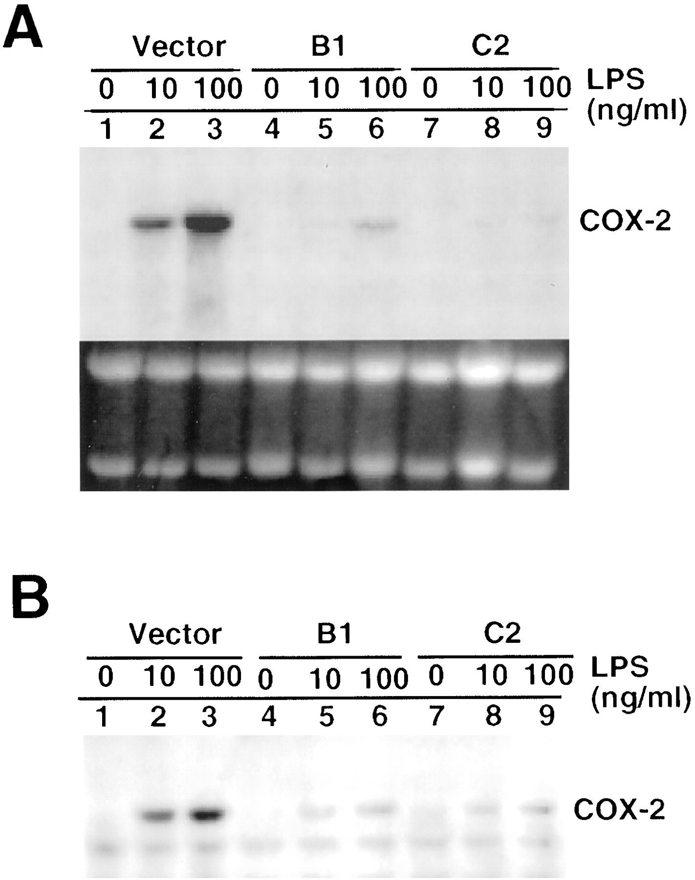 the cyclooxygenase 2 essay In the project helicobacter pylori induces the synthesis of cyclooxygenase-2 in  human gastric epithelial carcinoma cell line bgc-823, i found in the majorities of .