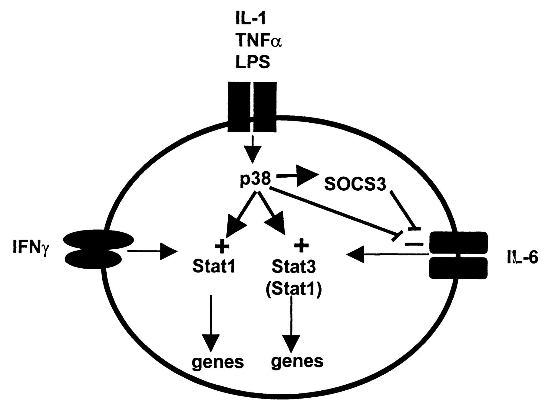 Inhibition Of Il 6 And 10 Signaling Stat Activation By Case Ih 856 Wiring Diagram Download Figure