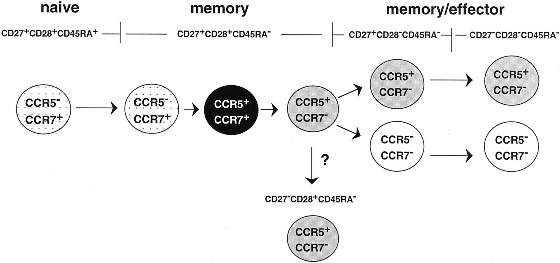 cd8 effector and memory t cells differentiation Tim-3 engagement promotes effector memory t cell differentiation of human antigen-specific cd8 t cells by activating mtorc1.
