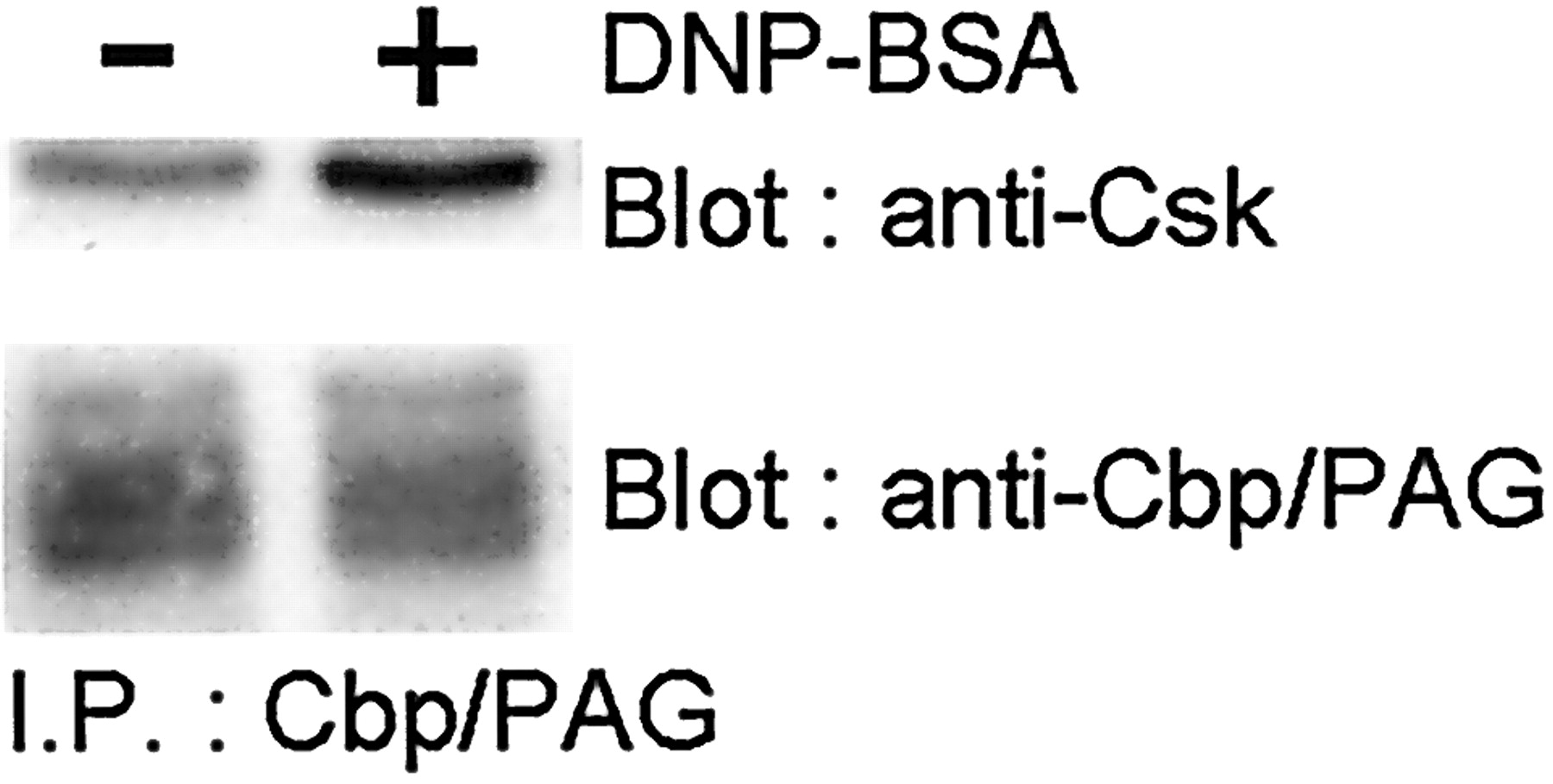 Cutting Edge: Transmembrane Phosphoprotein Csk-Binding Protein