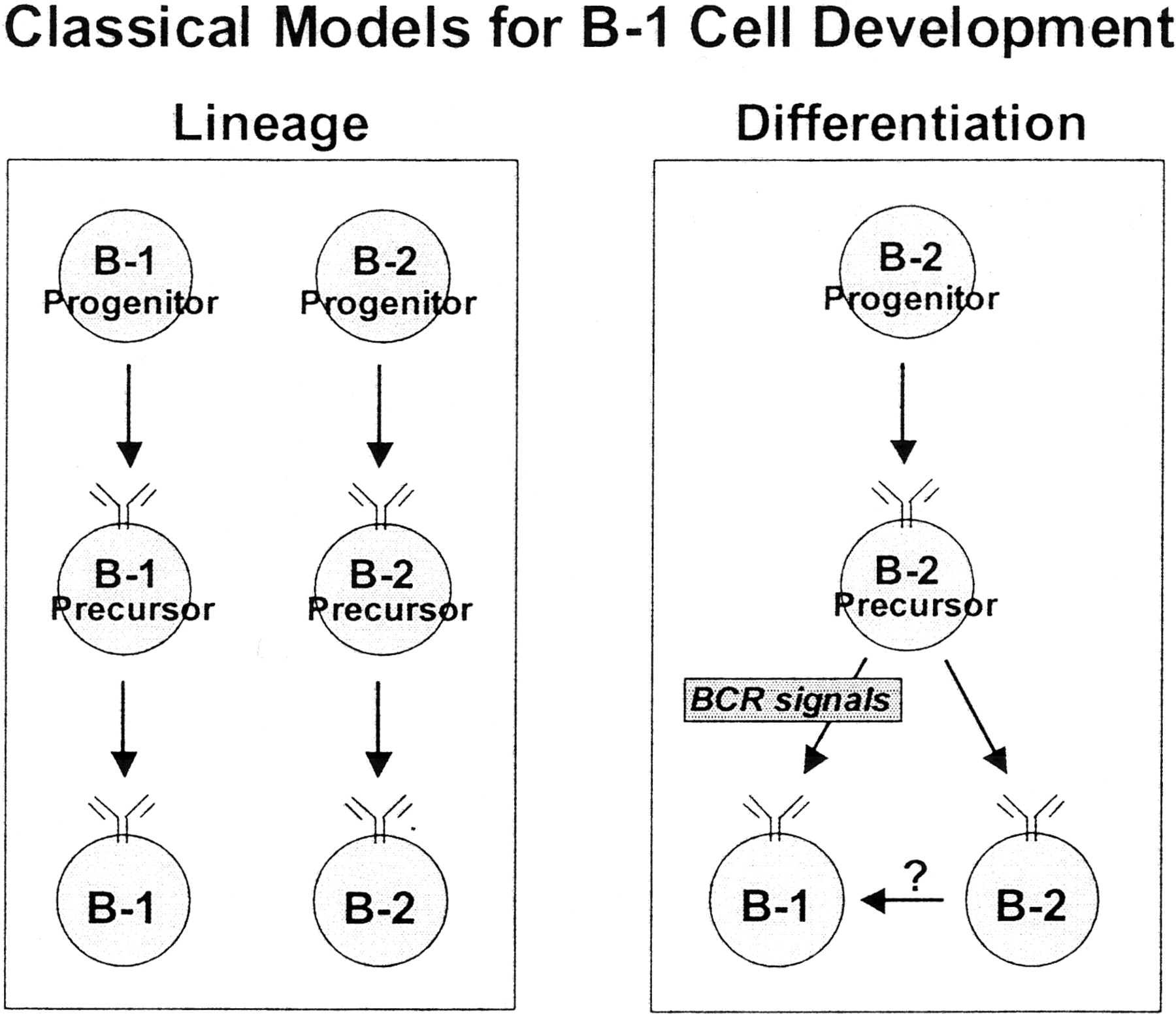 Cutting Edge Commentary Two B 1 Or Not To Be One The Journal Of This Diagram Depicts White Blood Cells With Parts And Labels Download Figure Open In New Tab Powerpoint Diagrams Depicting Classical Versions