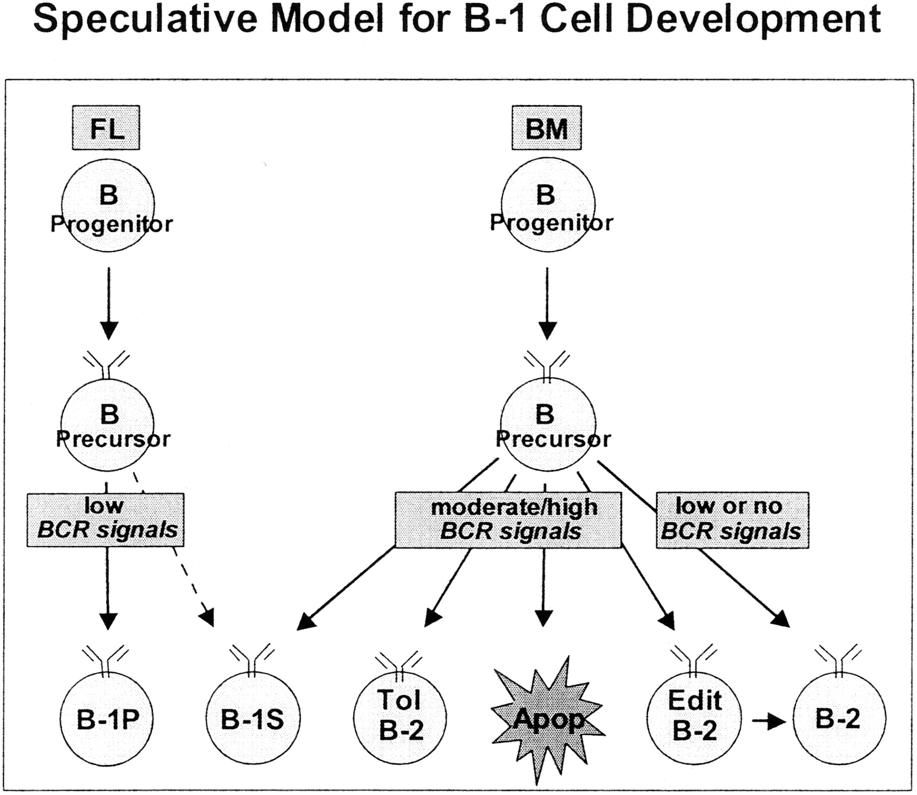 Cutting Edge Commentary Two B 1 Or Not To Be One The Journal Of This Diagram Depicts White Blood Cells With Parts And Labels Download Figure