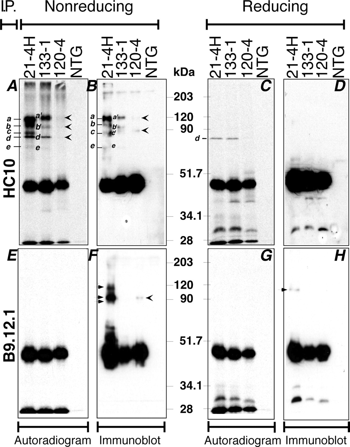 Hla b27 in transgenic rats forms disulfide linked heavy chain download figure falaconquin