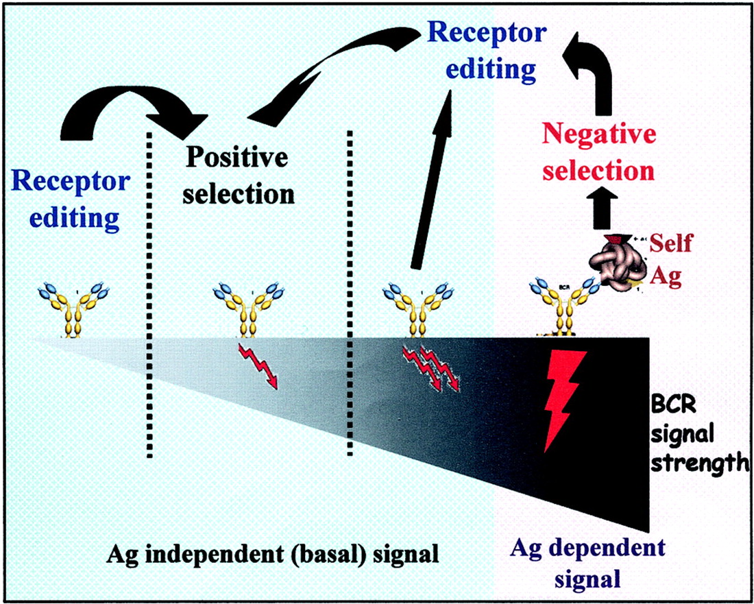 Receptor Editing in Positive and Negative Selection of B ...