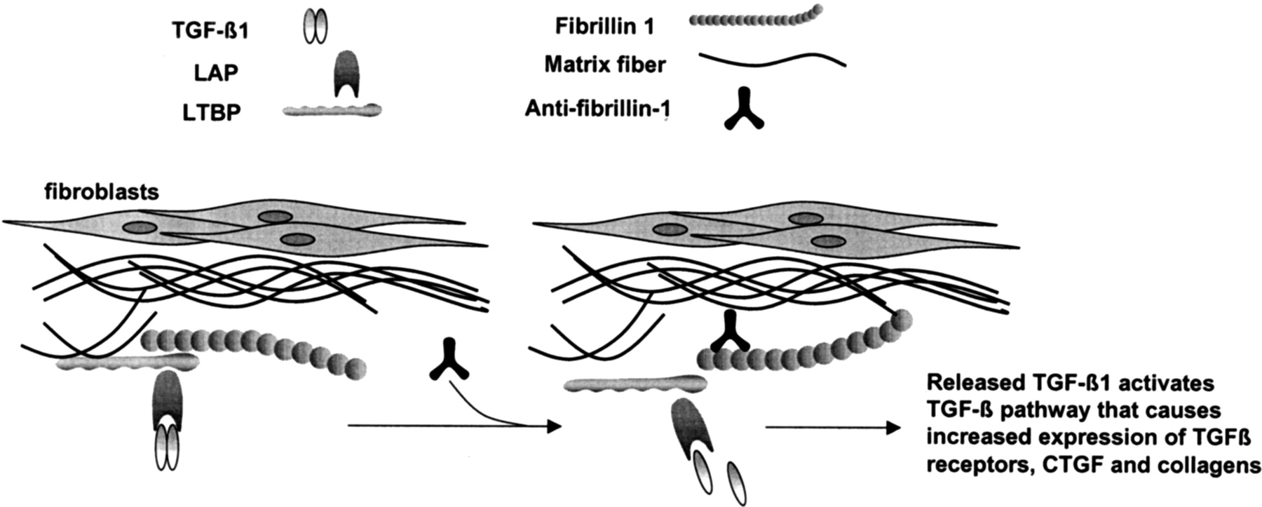 Autoantibodies to Fibrillin-1 Activate Normal Human Fibroblasts in ...