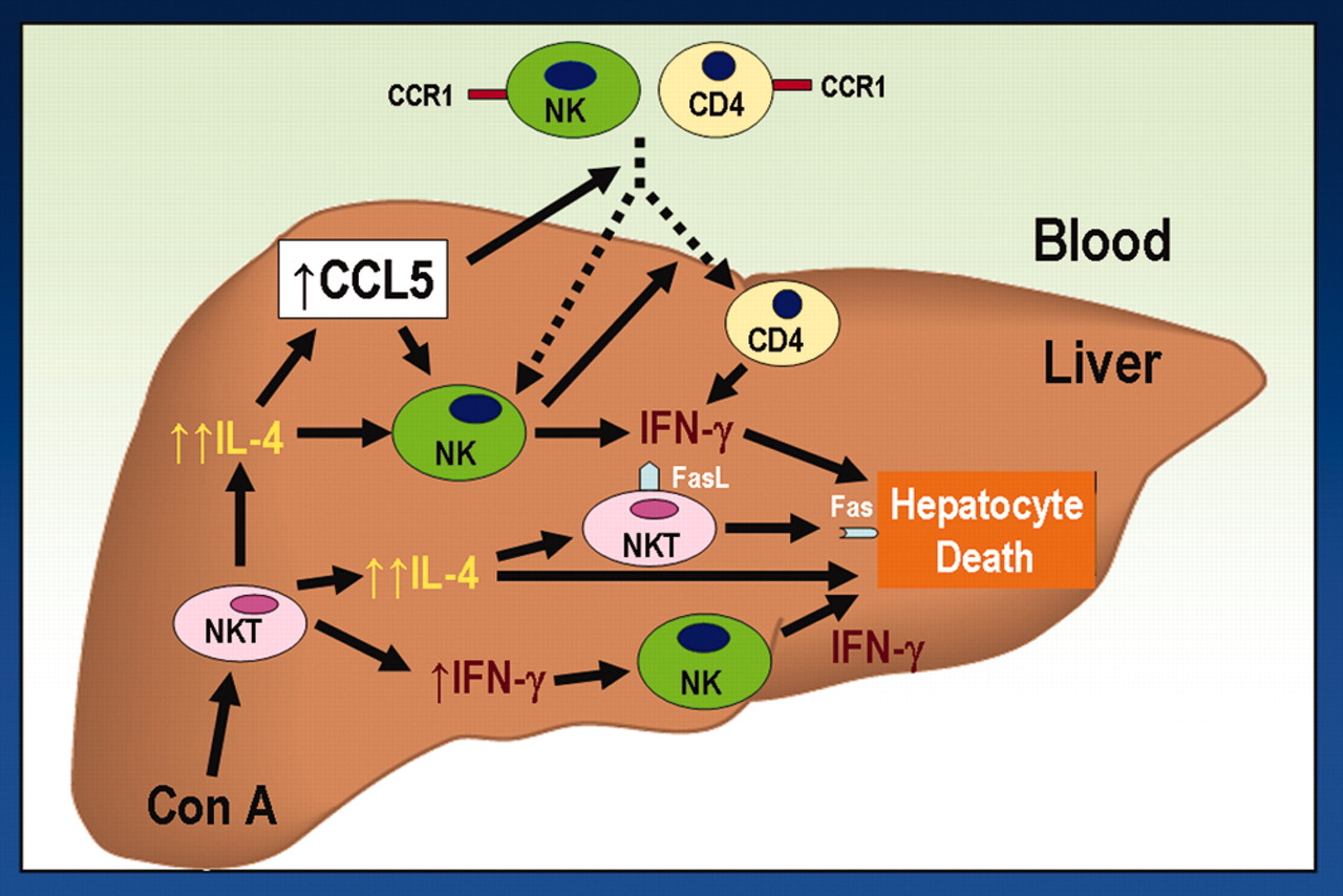 CCR5 in T Cell-Mediated Liver Diseases: What's Going On?