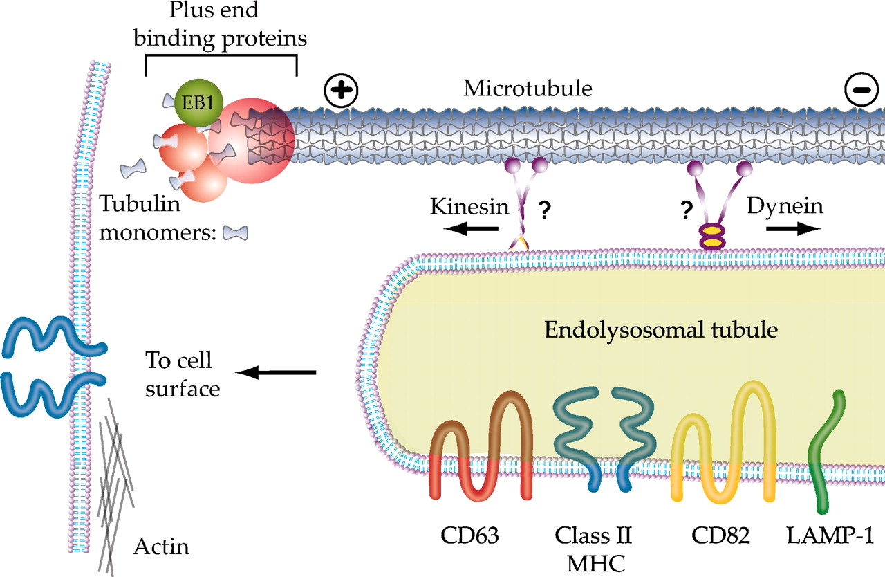 Tubulation of Class II MHC Compartments Is Microtubule