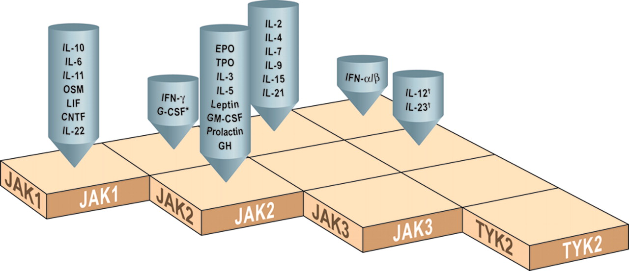The JAK-STAT Signaling Pathway: Input and Output Integration | The ...