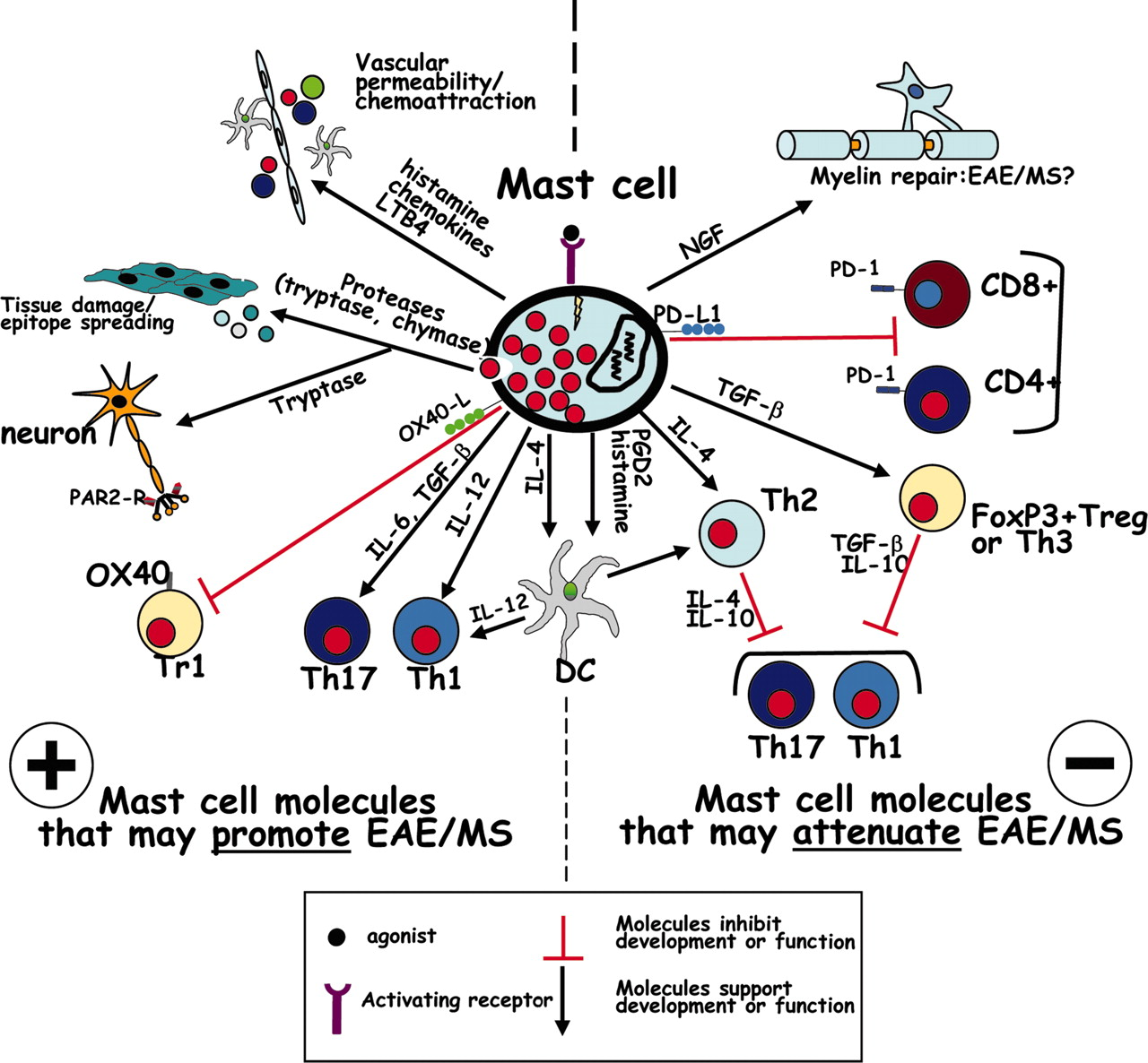 The Multitasking Mast Cell: Positive and Negative Roles in