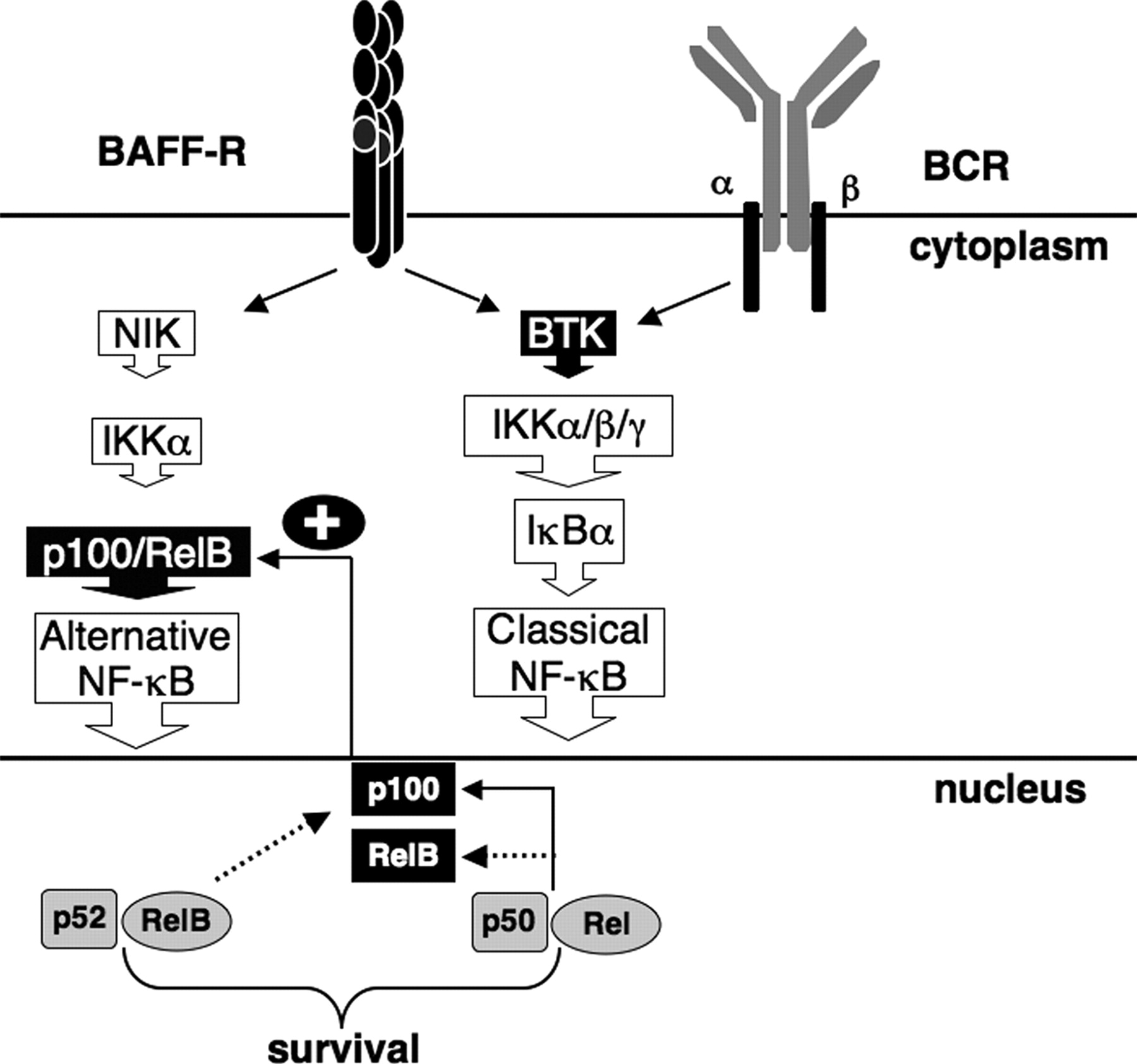 alternative pathway of nf-kb activation