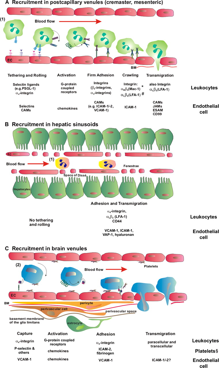 The Physiology Of Leukocyte Recruitment An In Vivo Perspective