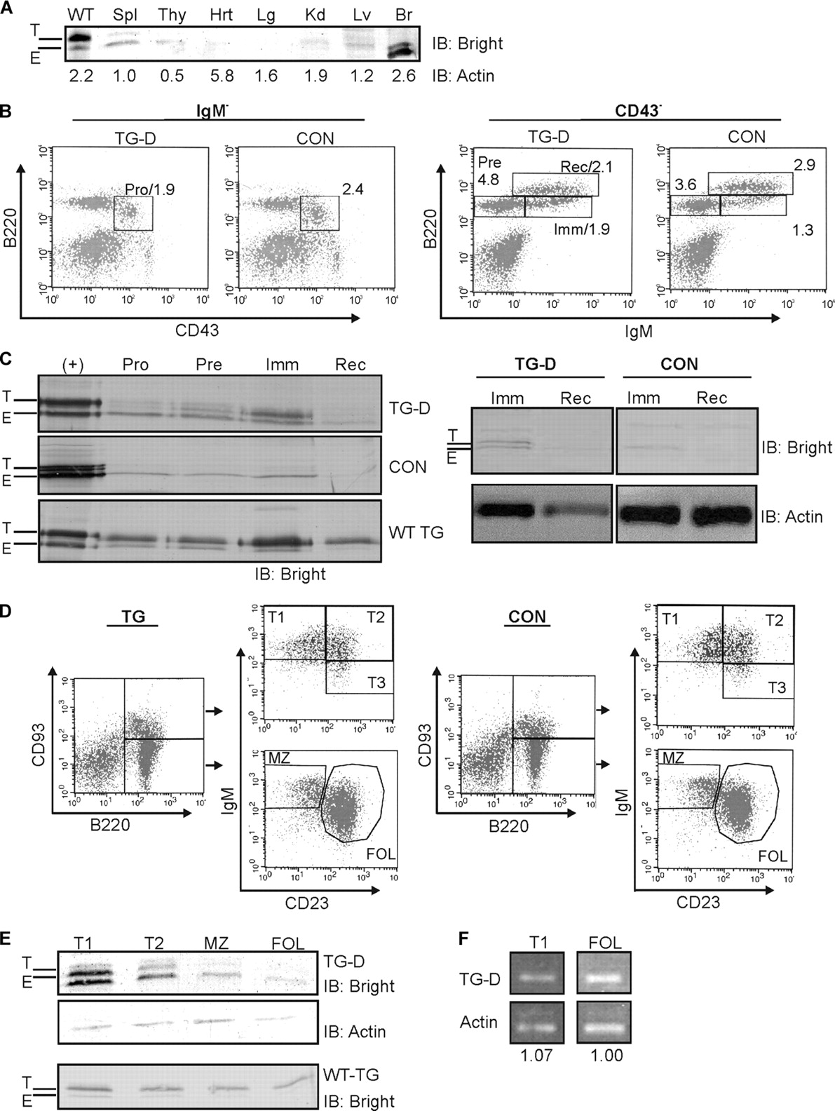 Transgenic mice expressing dominant negative bright exhibit defects download figure ccuart Images