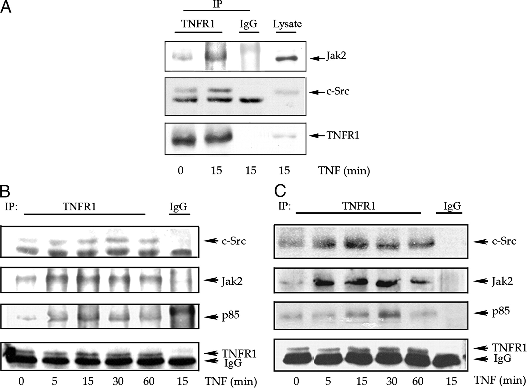 Type 1 Tnf Receptor Forms A Complex With And Uses Jak2 And C Src To