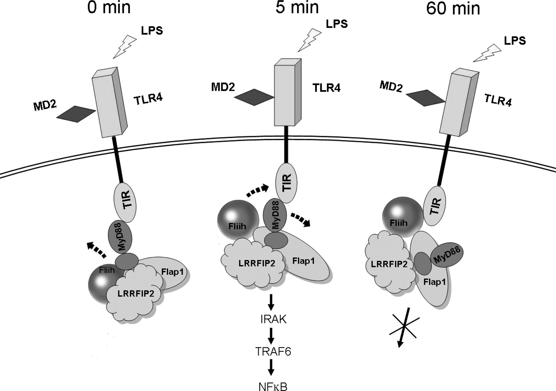 modulation of tlr signaling by multiple myd88