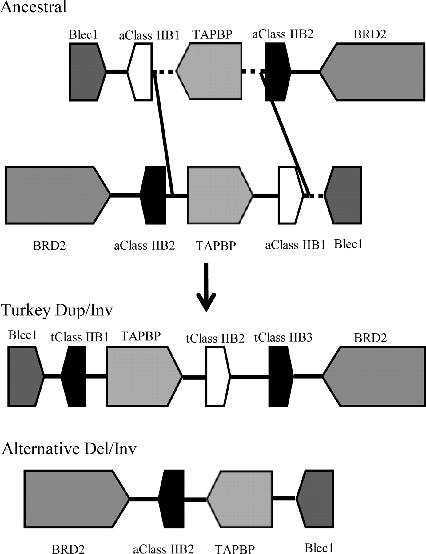 defining the turkey mhc sequence and genes of the b locus the