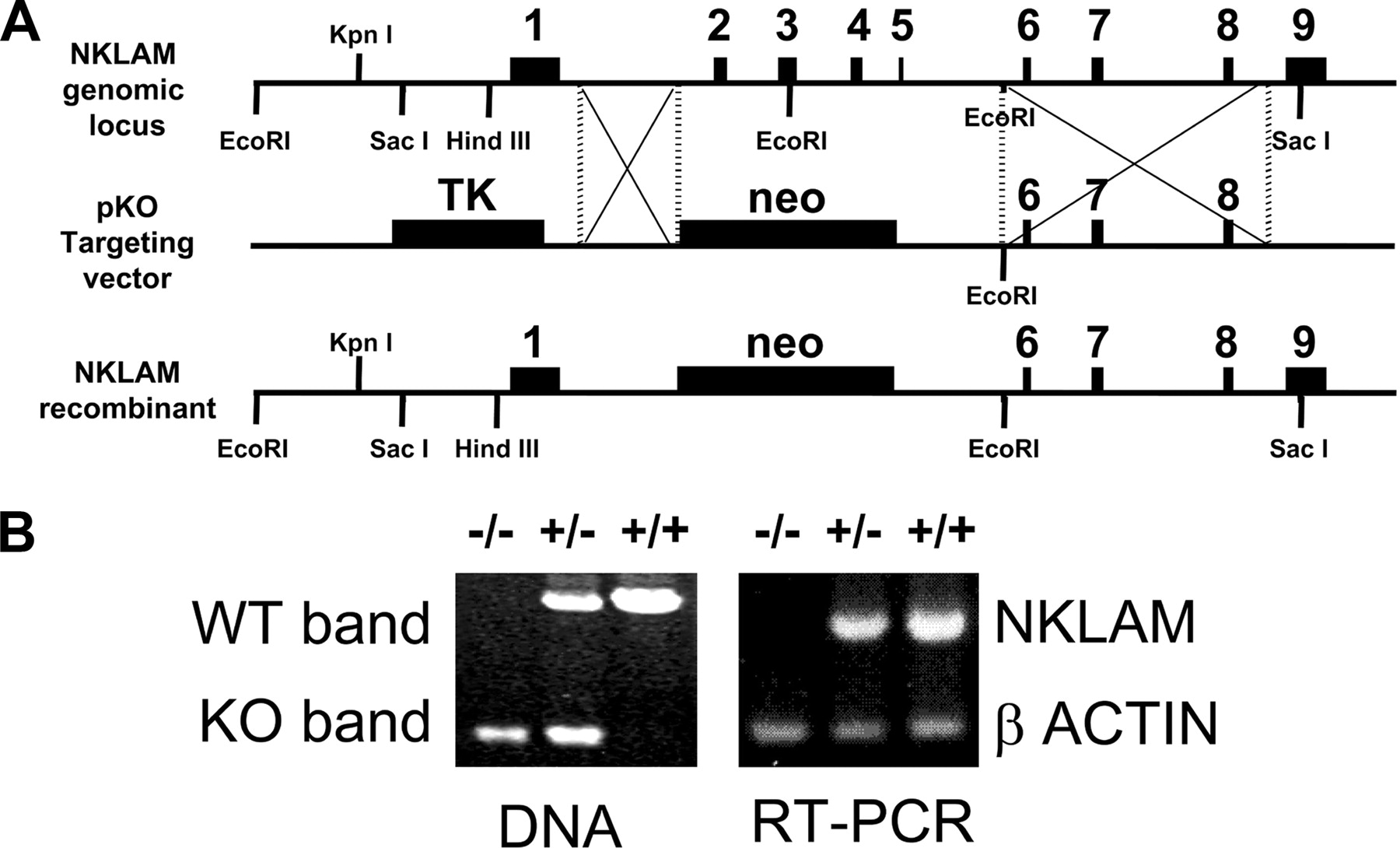 Impaired NK Cytolytic Activity and Enhanced Tumor Growth in
