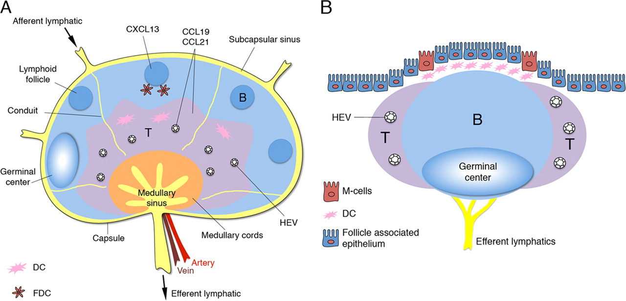 Secondary Lymphoid Organs Responding To Genetic And Environmental