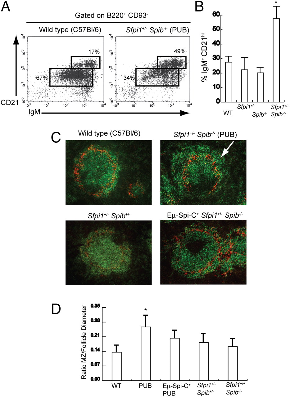 Regulation of Follicular B Cell Differentiation by the Related E26