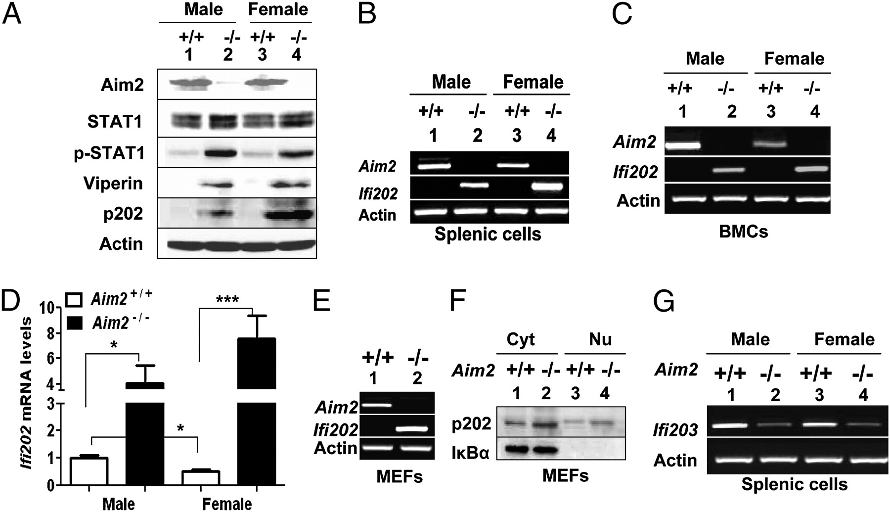 Aim2 Deficiency Stimulates the Expression of IFN-Inducible Ifi202, a