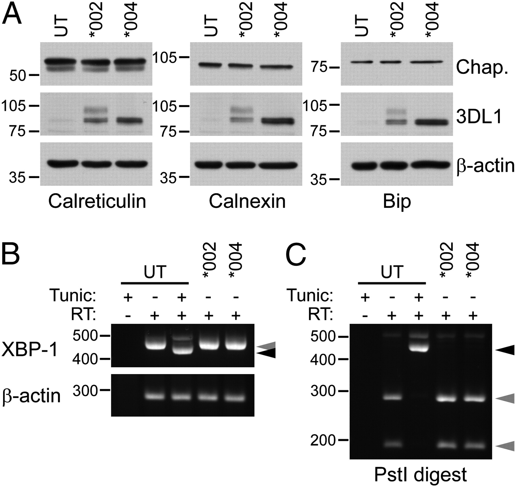 Interactions of NK Cell Receptor KIR3DL1*004 with Chaperones