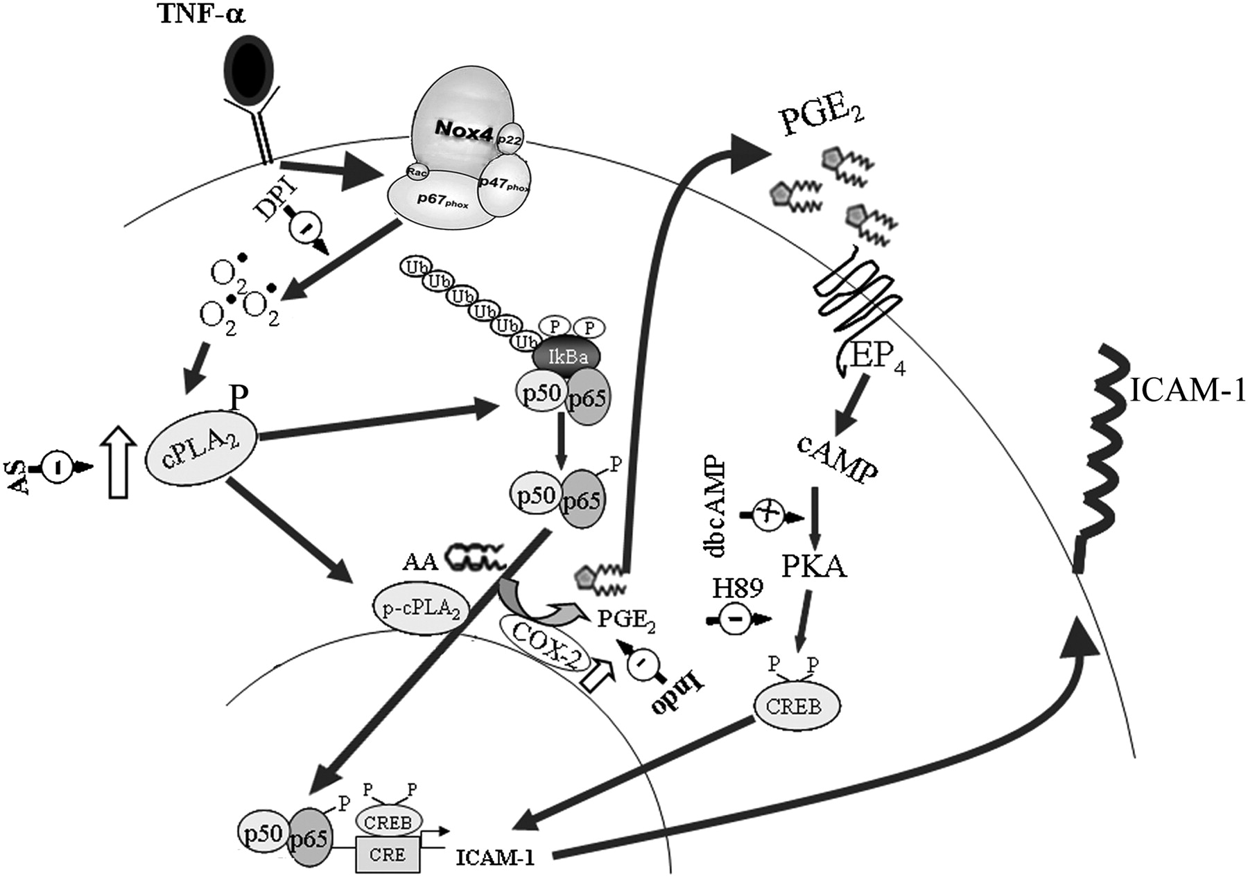 endothelial icam 1 protein induction is regulated by cytosolic  download figure