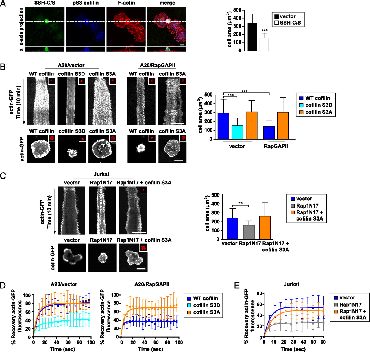 Cofilin-Mediated F-Actin Severing Is Regulated by the Rap