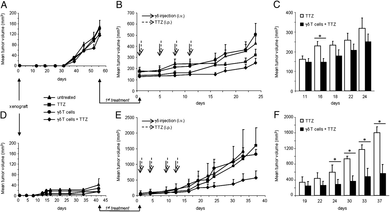 Tolomeo Stehle stimulated γδ t cells increase the in vivo efficacy of trastuzumab