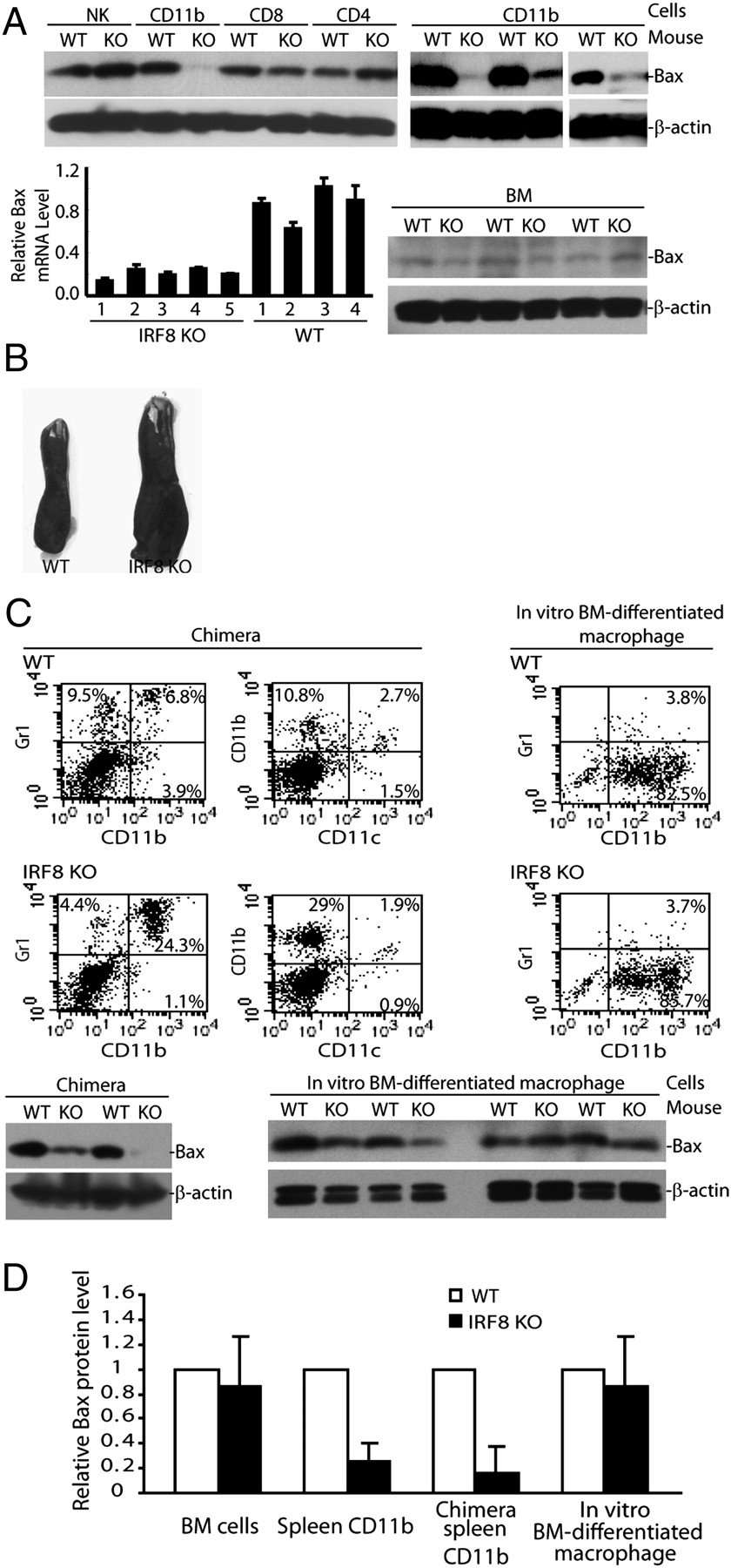 Cutting Edge: IRF8 Regulates Bax Transcription In Vivo in Primary