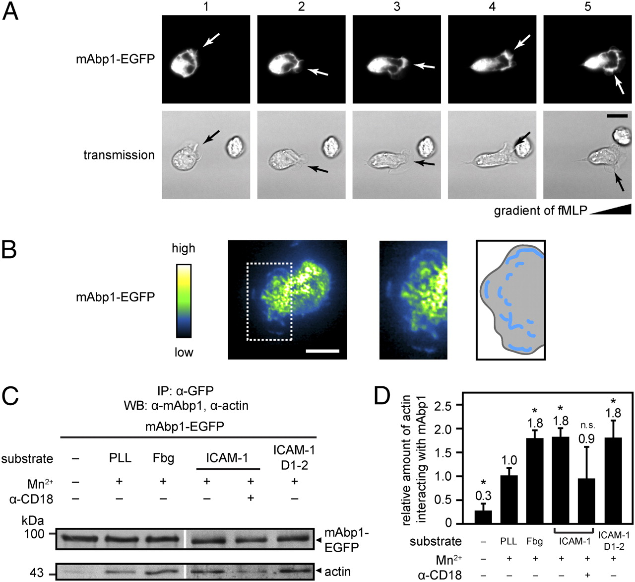 The Mammalian Actin Binding Protein 1 Is Critical For Spreading And