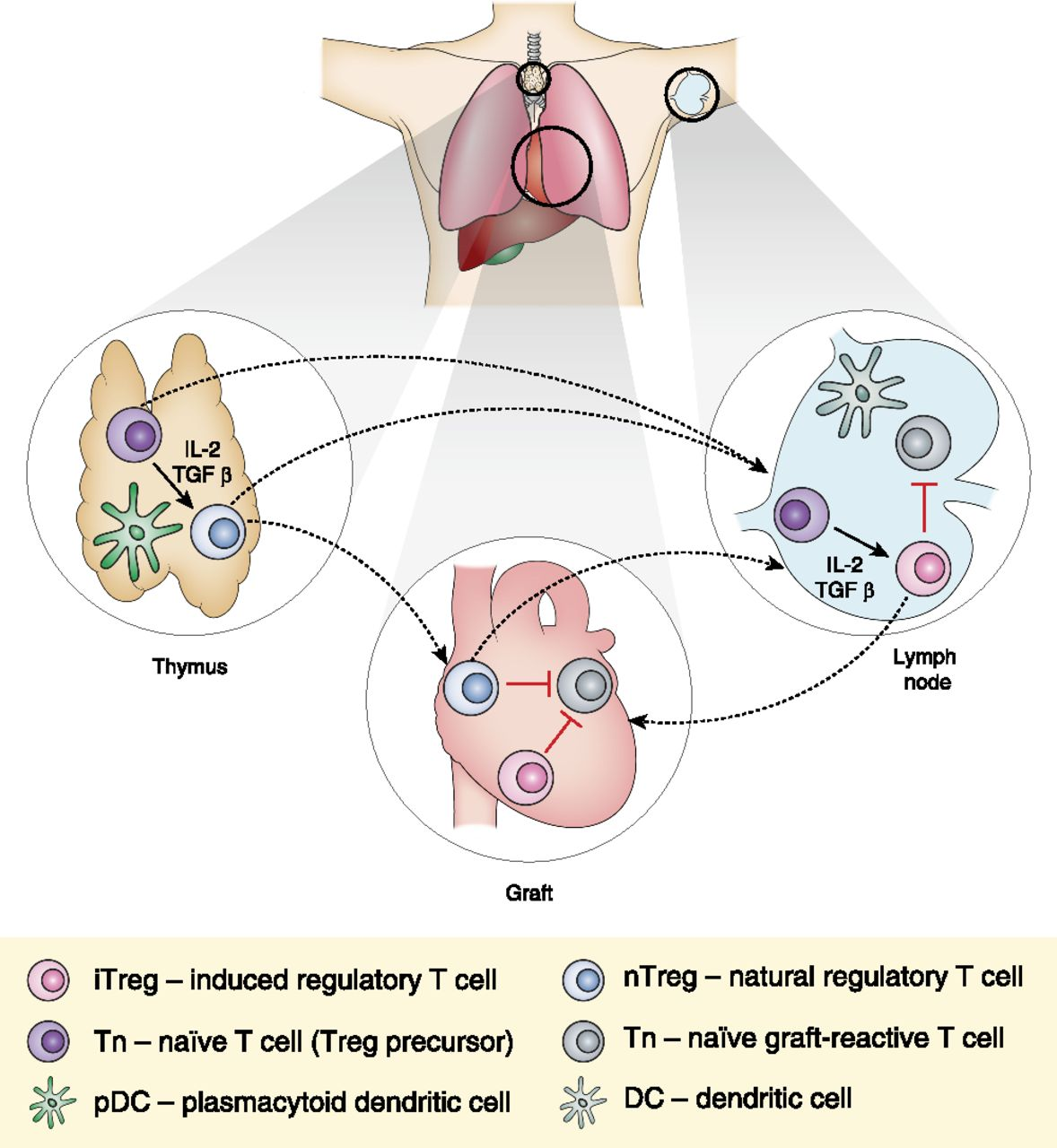 regulatory t cell induction migration and function in