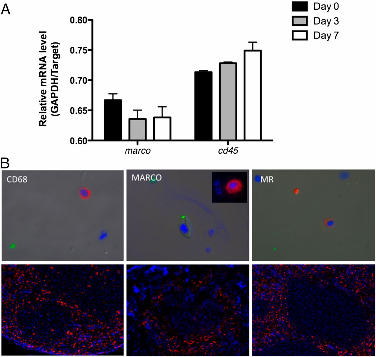 MARCO Is Required for TLR2- and Nod2-Mediated Responses to ...