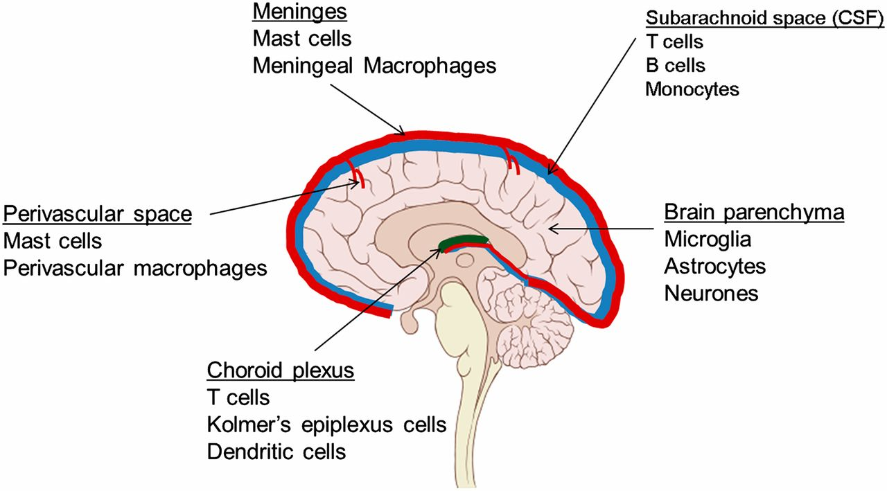 NK Cells in Central Nervous System Disorders | The Journal of Immunology