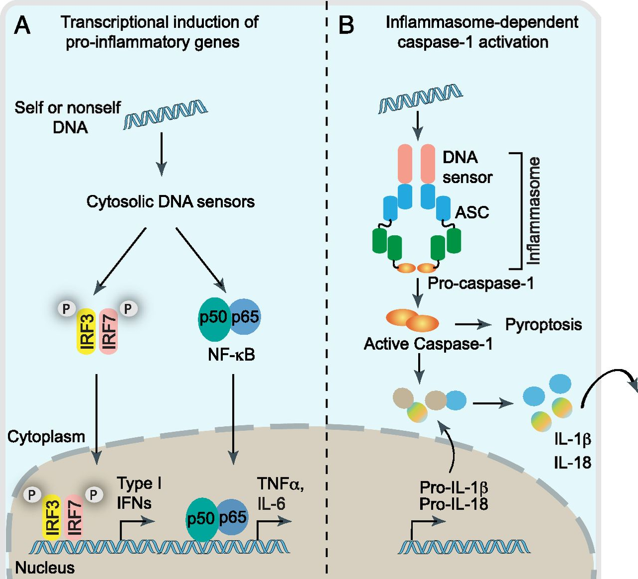 Molecular Basis Of Dna Recognition In The Immune System The