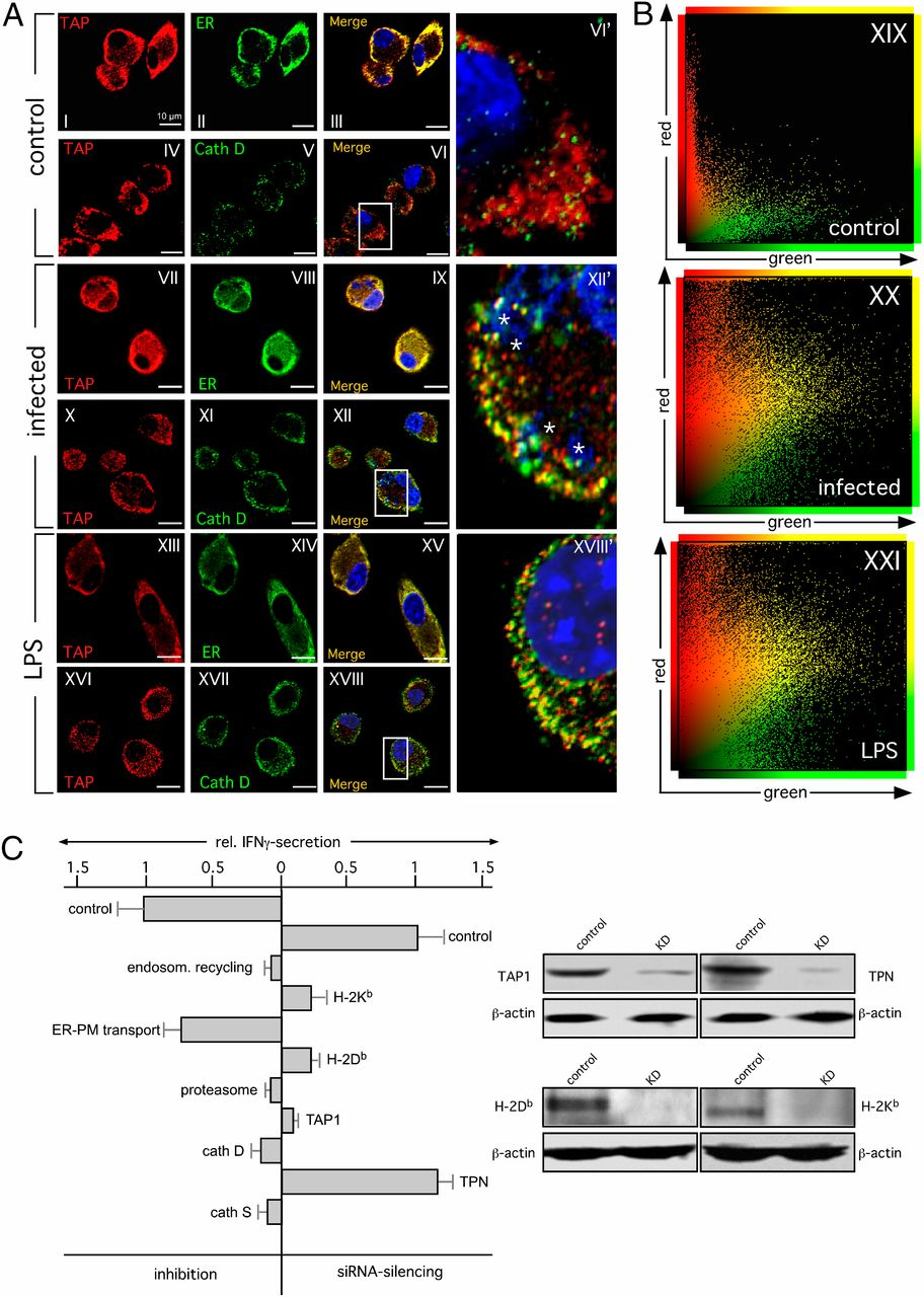 Amphisomal Route of MHC Class I Cross-Presentation in Bacteria