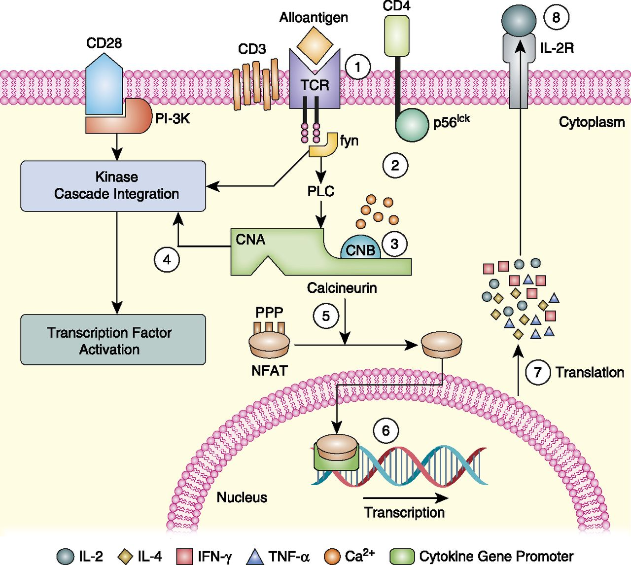 Calcineurin Inhibitors: 40 Years Later, Can't Live Without … | The