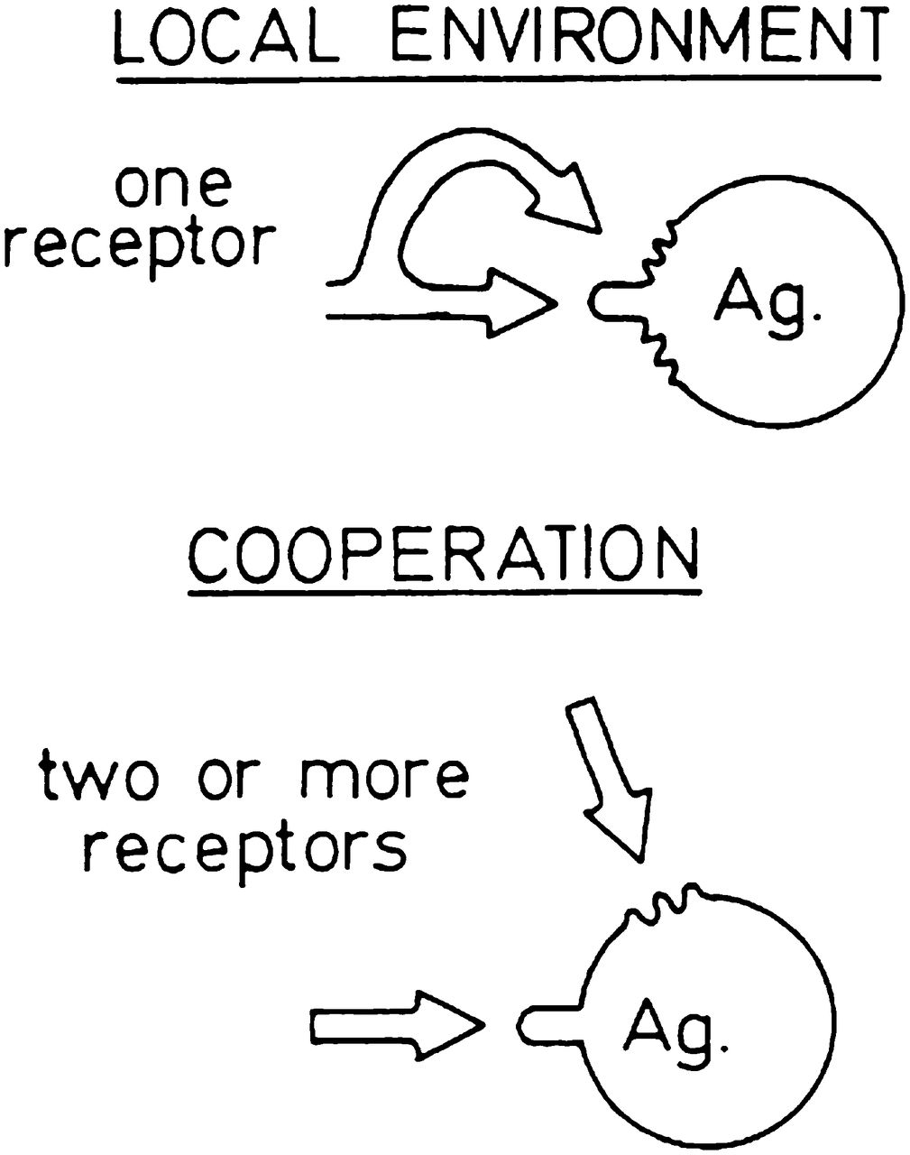 the carrier effect and t cell/b cell cooperation in the antibody