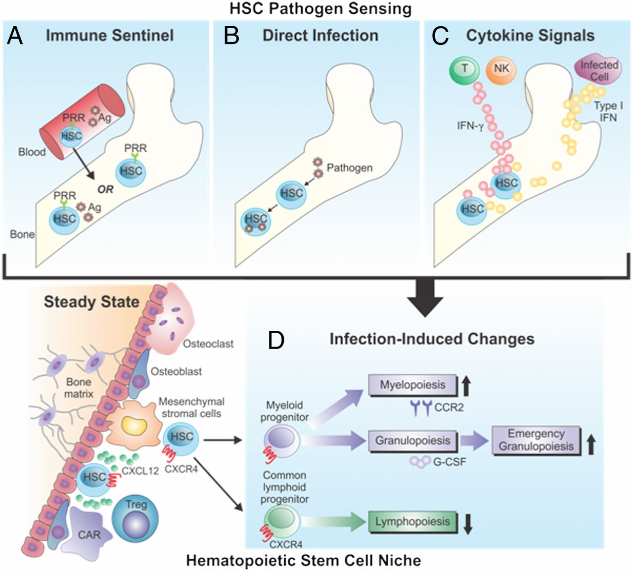Infection-Induced Changes in Hematopoiesis | The Journal of Immunology