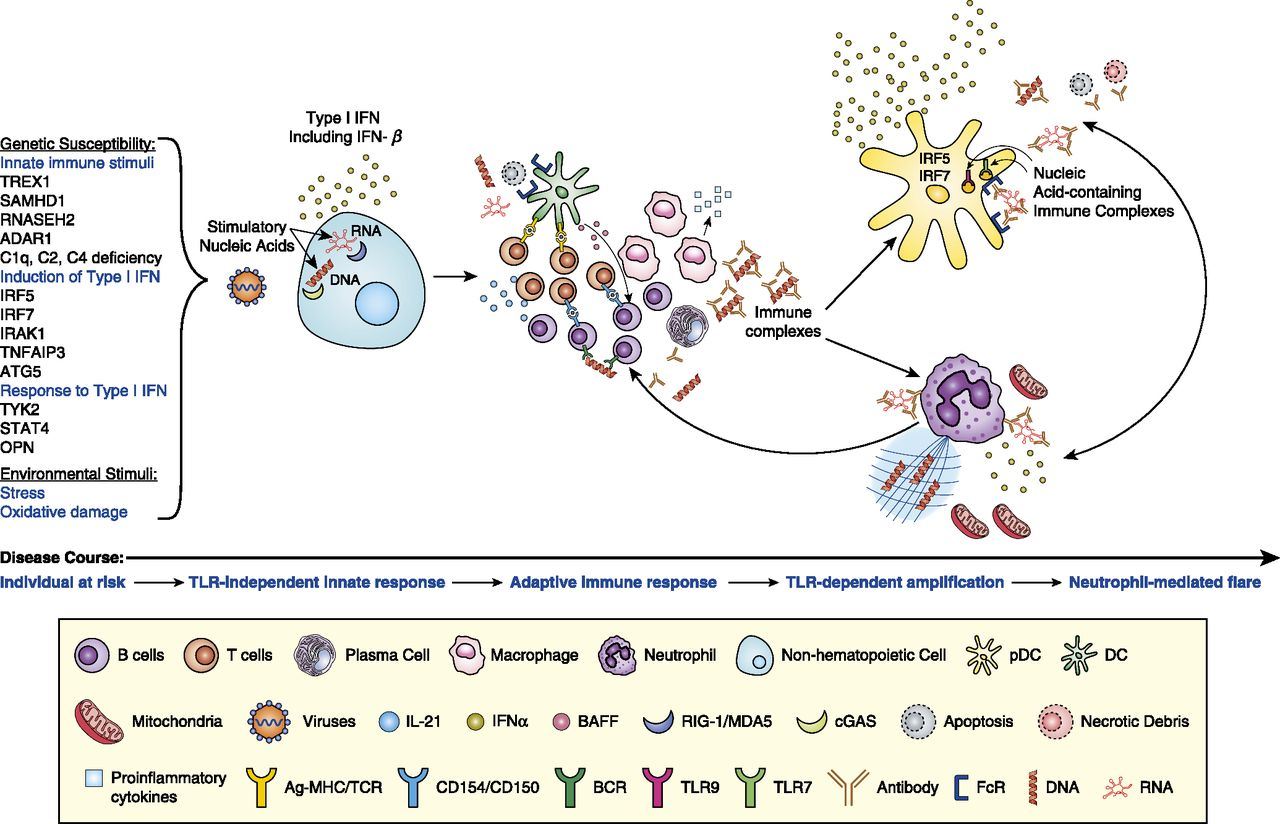 Type I Interferon in the Pathogenesis of Lupus   The Journal of