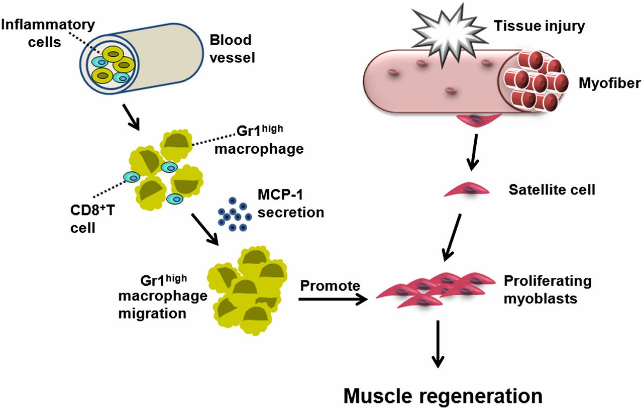 cd8 t cells are involved in skeletal muscle regeneration through, Muscles