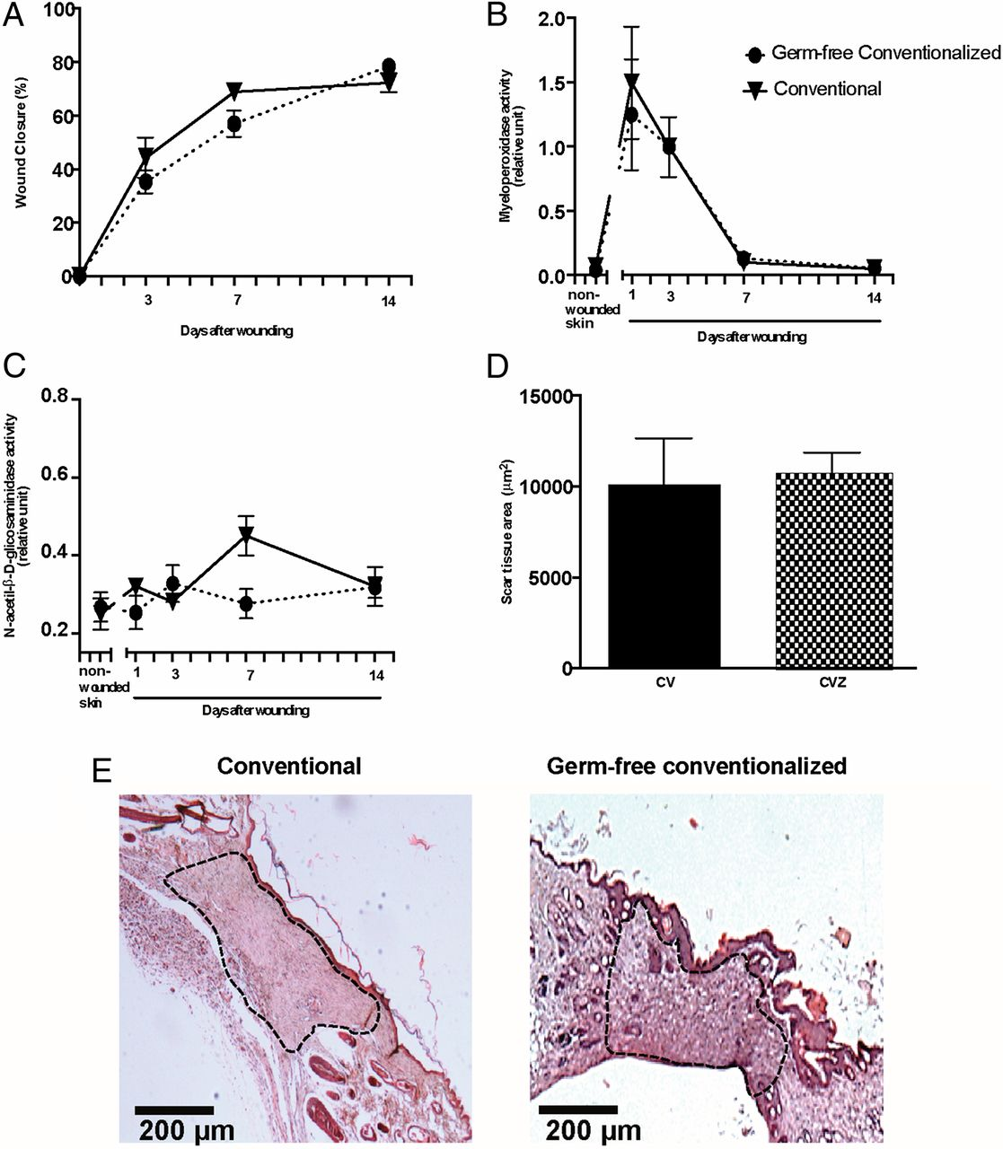 gf colonized mice restore wound healing to conventional mouse level