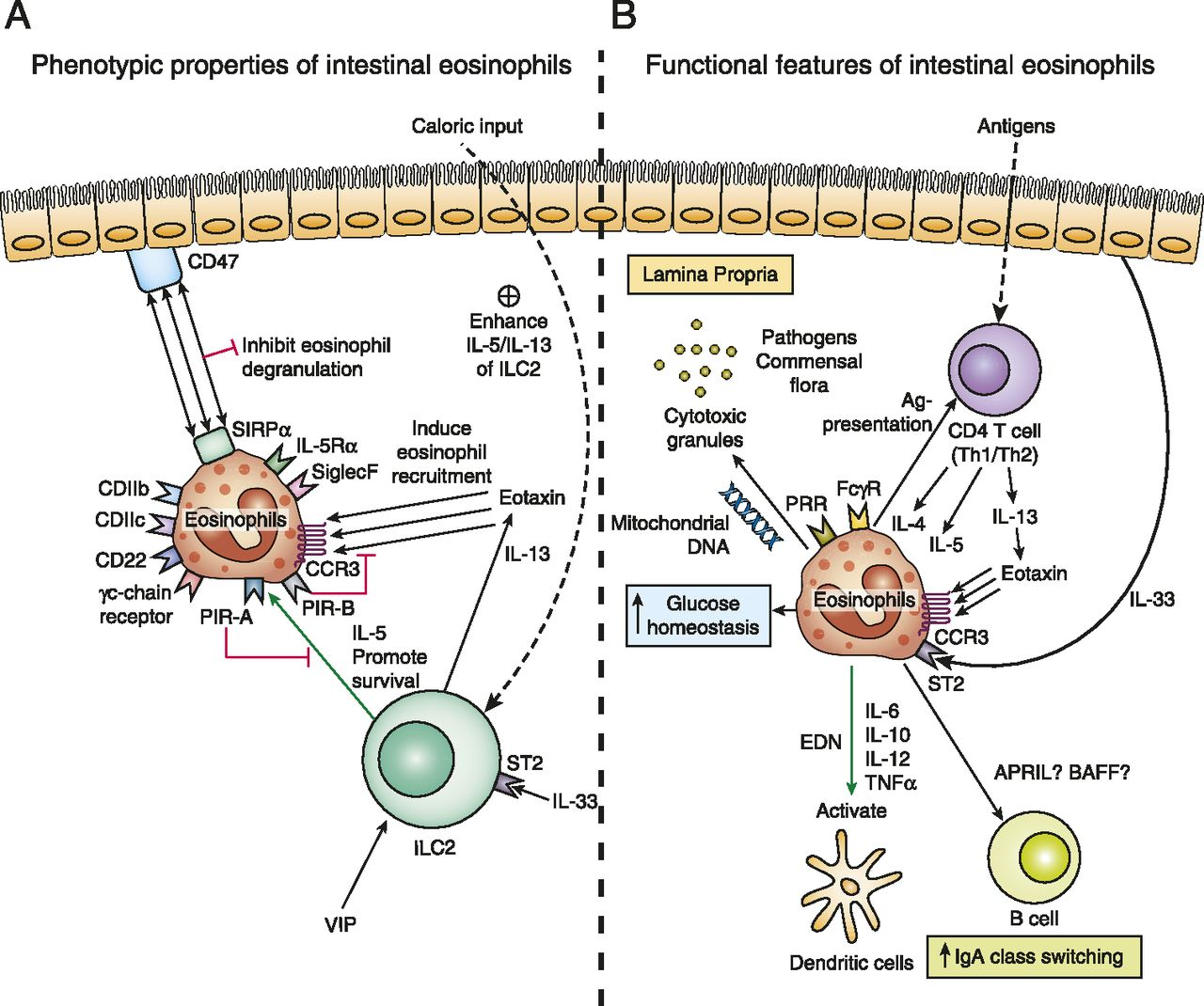 Roles And Regulation Of Gastrointestinal Eosinophils In
