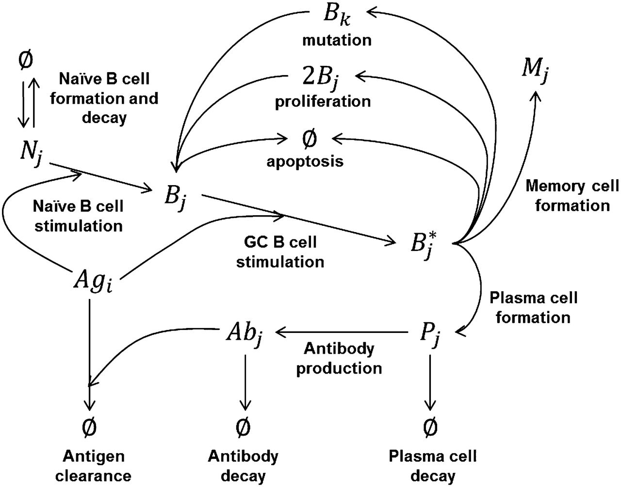 Antibody affinity maturation review