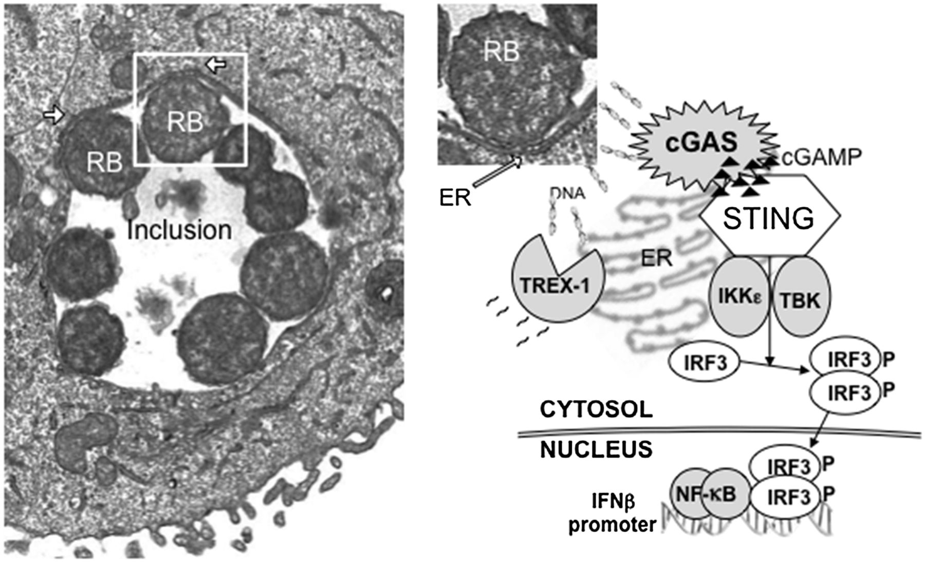 the dna sensor, cyclic gmp–amp synthase, is essential for induction