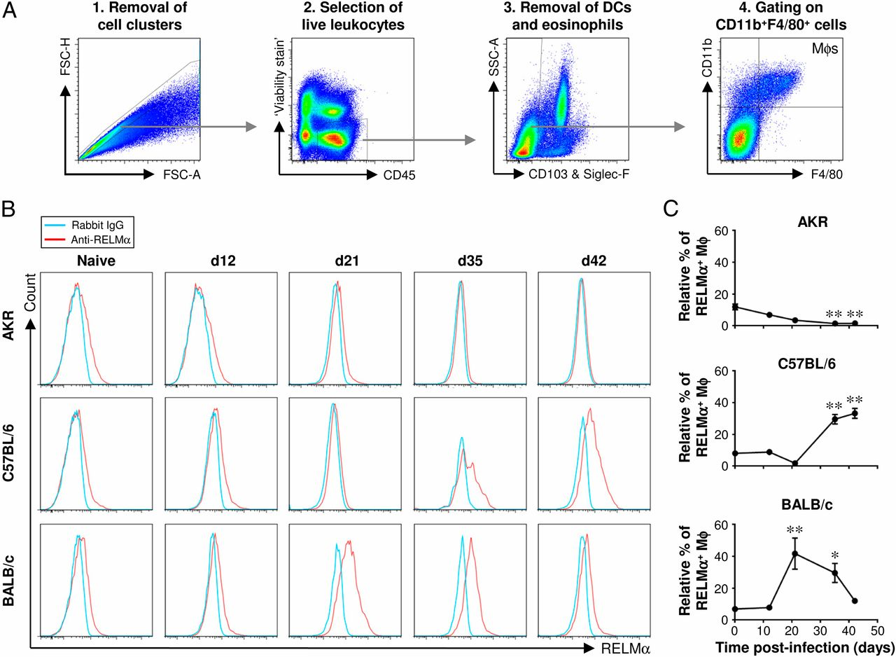 Dynamic Changes in Macrophage Activation and Proliferation