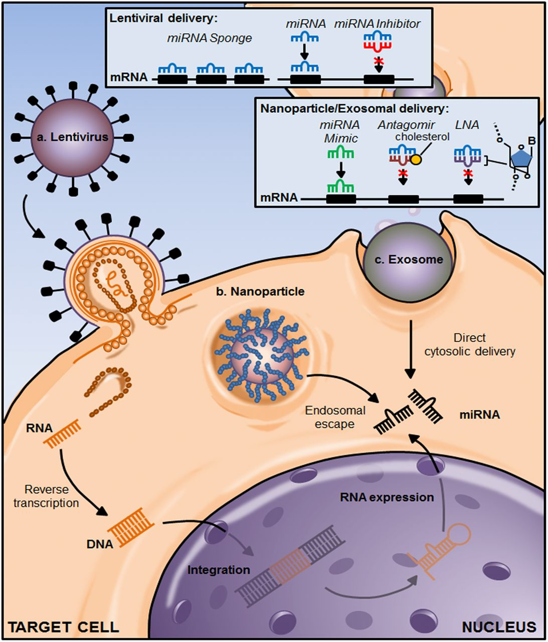 Prospects for Therapeutic Targeting of MicroRNAs in Human