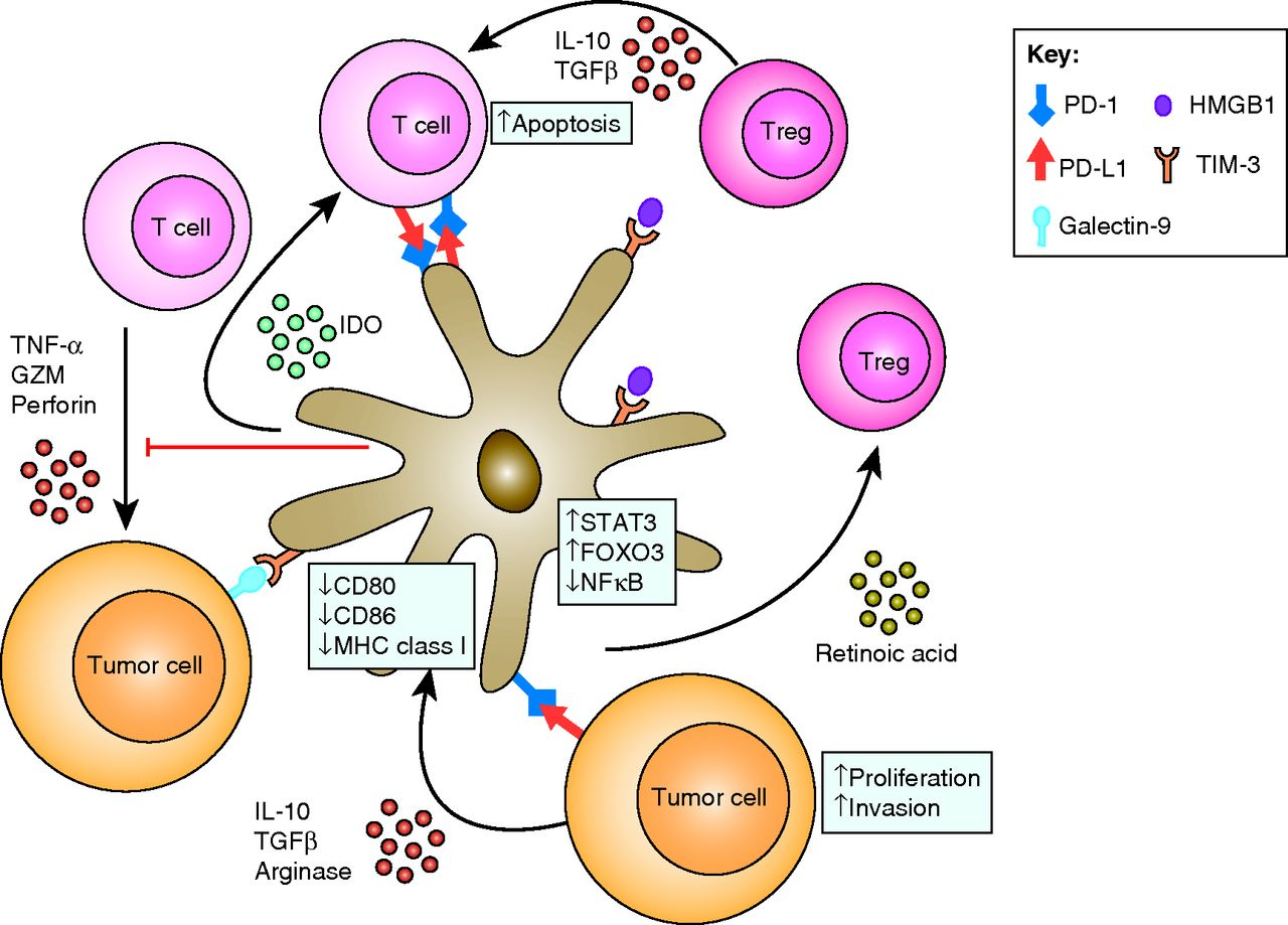 Tumor Infiltrating Dendritic Cells In Cancer Pathogenesis